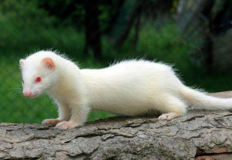 Полный альбинизм (красные или розоватые глаза). Взято из открытого источника.