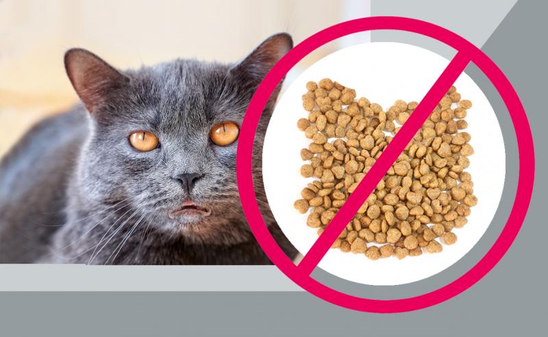 Моя британская кошка перестала быть аристократкой, когда наелась сухого корма. Какое питание вернуло ей красоту и здоровье?