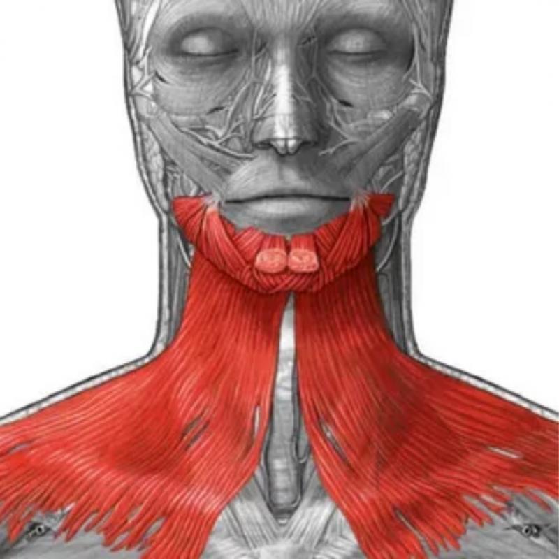 Количество пучков в области челюсти может быть неодинаковым у разных людей. Иногда у женщин пучков меньше, поэтому платизма становится еще более уязвимой и слабой. Источник изображения: Яндекс.Картинки