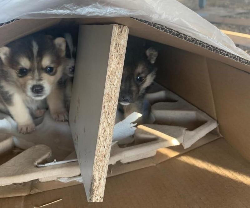 Недавно моему знакомому из Москвы подкинули две коробки щенков — эти хаски только открыли глаза. Видимо, какой-то «заводчик» решил не заморачиваться с выращиванием щенков или хотя бы с их продажей