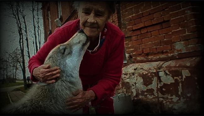 Женщина вырастила волчонка, не зная что он хищник, спустя некоторое волк показал на что он способен.Защитил от преступников.