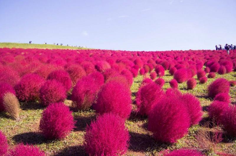 Красные кусты. Сотни и тысячи. Вместе получается удивительный пейзаж