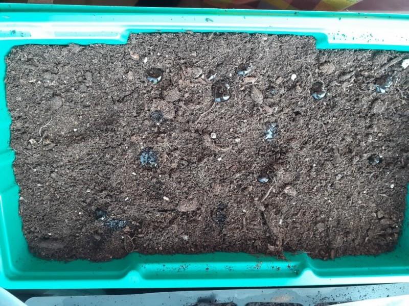Мои несколько семян петунии растут в парничке