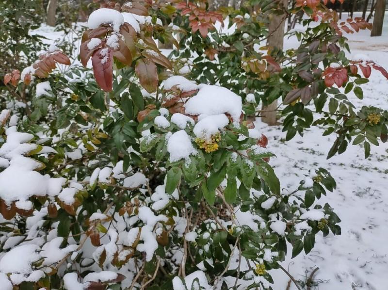 Цветущая магония завалена снегом