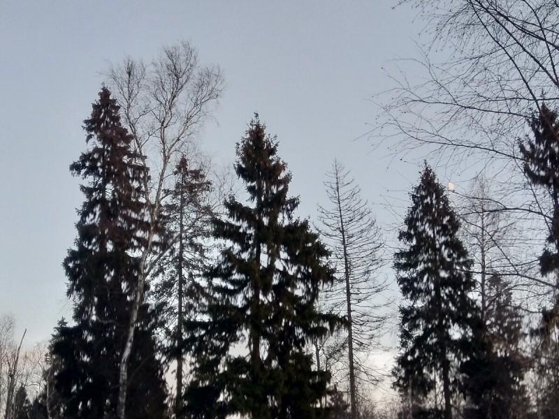 Фото автора. Кроны елок и осин на фоне зимнего закатного неба...