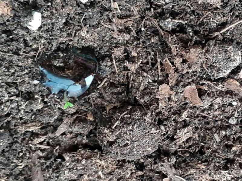 Вот один из проклюнувших росточков, теперь полив капельный из шприца под корешок