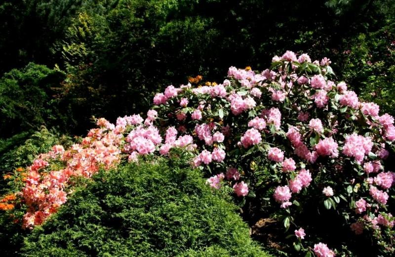 Какие кустарники будут цвести все лето, а по красоте не уступят даже розам