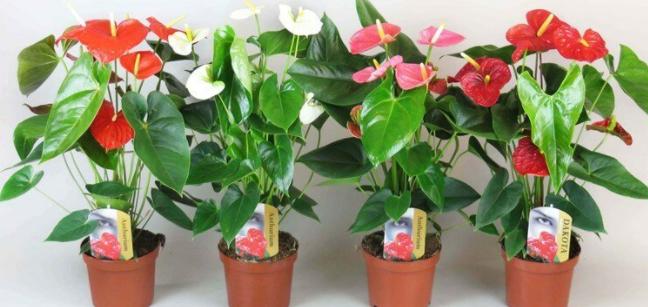 Как ухаживать за цветком «Женское счастье»?